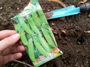 Zuckererbsen Aussaat Gartenarbeit DIY