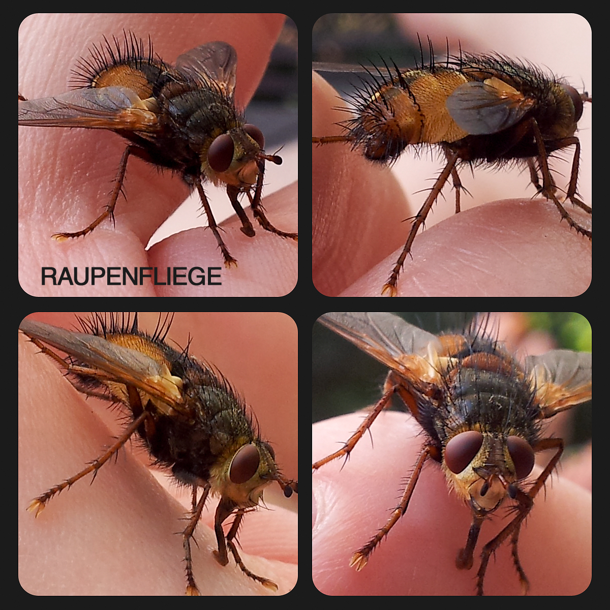 Eine Schönheit der Natur: die Raupenfliege (Macro-Aufnahme mit meinem Handy Samsung Galaxy sII)
